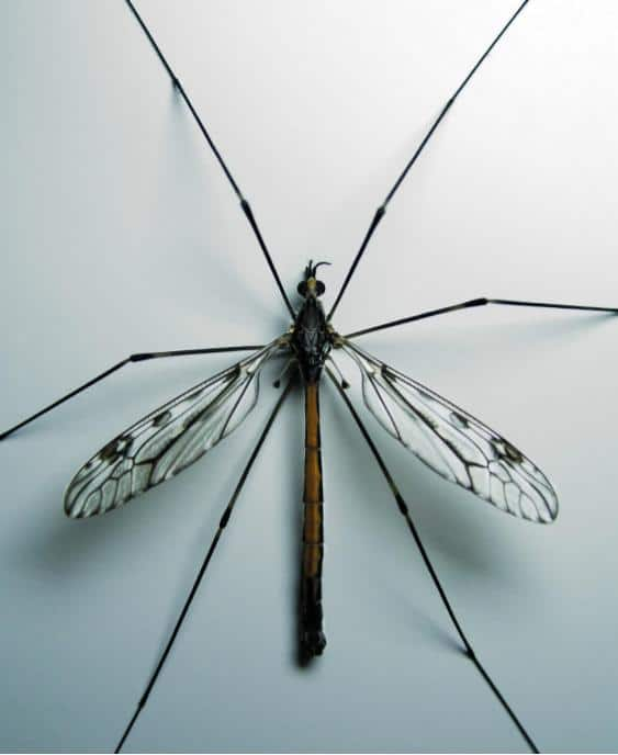 Image of Crane Fly