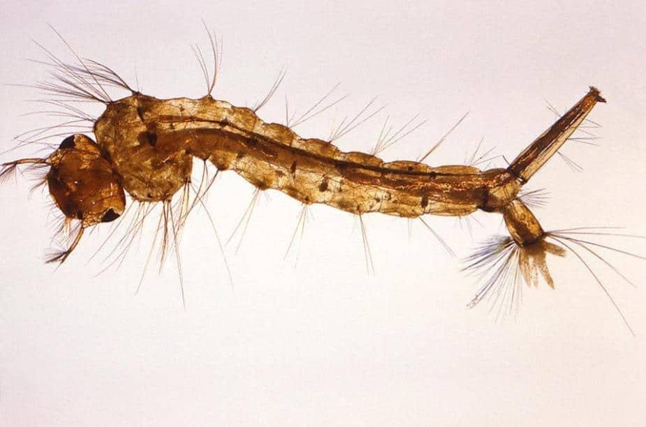 Mosquito Larvae image